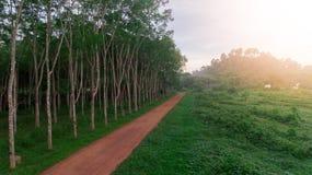 空中三叶橡胶树,橡胶园 库存图片