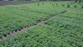 空中农田视图 夹子 绿色领域和植被顶视图  幼木的领域在农业产业的 影视素材