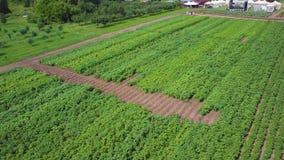 空中农田视图 夹子 绿色领域和植被顶视图  幼木的领域在农业产业的 股票视频