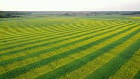 空中向前农村领域种植与黄色强奸和绿色麦子小条  股票视频