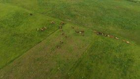 空中寄生虫英尺长度,站立在绿色领域的马 影视素材