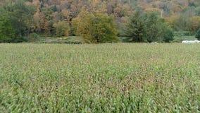 空中寄生虫-横跨准备好的麦地的表面层收获在秋天在佛蒙特 股票视频