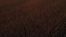 空中录影 飞行紧密上面在田园诗高加索自然的浩大的黄色麦田在金黄轻的日落 巨大火热 影视素材