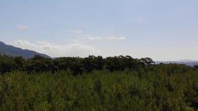 空中爱琴海杉木的森林 股票视频