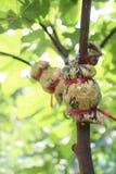 空气分层堆积的传播无花果树 免版税图库摄影