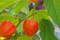 空泡红色成熟在庭院里在秋天 库存图片
