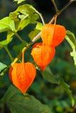 空泡alkekengi或中国灯笼植物 免版税库存图片
