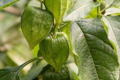 空泡alkekengi -空泡alkekengi绿色灯笼在绿色叶子中的 免版税库存照片