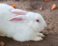 空白兔子和眼睛红色 免版税库存照片