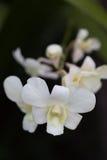 空白兰花。 免版税库存图片