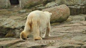 空白北极熊 股票录像