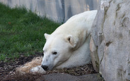 空白北极熊 库存照片