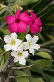 空白和桃红色飞羚百合 库存图片