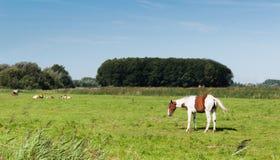 空白和棕色上漆的马 库存图片