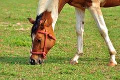 空白和棕色马 免版税库存图片