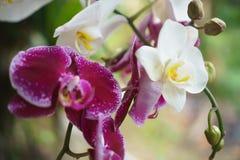 空白和紫色兰花 兰科 图库摄影