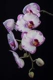 空白和紫色兰花 免版税库存照片