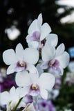 空白和紫色兰花 库存照片