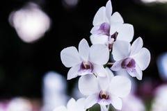 空白和紫色兰花 库存图片