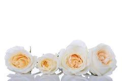 空白四朵的玫瑰 库存图片