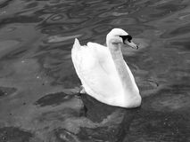 空白天鹅在水中 库存照片