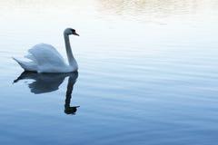 空白天鹅游泳在湖 免版税库存照片