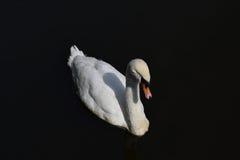 空白天鹅 免版税库存图片