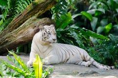 空白孟加拉老虎休息 库存图片