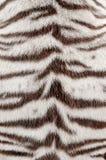 空白孟加拉老虎毛皮 免版税库存照片