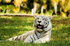 空白孟加拉老虎 免版税库存照片