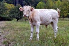空白小牛 免版税库存图片