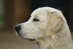 空白小狗 免版税库存图片