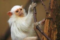 空白小猿 免版税库存照片