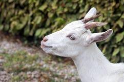 空白山羊 免版税图库摄影
