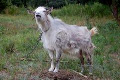 空白山羊 免版税库存图片
