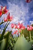 空白带淡红色的郁金香 库存图片