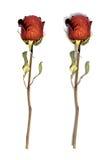 空白干查出的红色的玫瑰 免版税库存照片