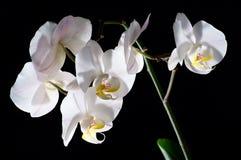 空白开花的兰花 免版税库存照片
