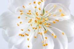 空白开花的特写镜头 免版税库存图片