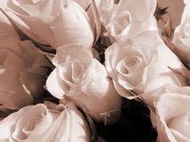 空白开花的玫瑰 免版税库存图片