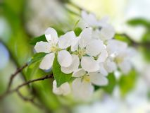 空白开花的花 免版税库存图片