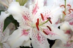空白异乎寻常的lillies 免版税库存图片