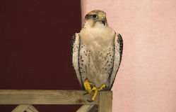空白旅游猎鹰 库存图片