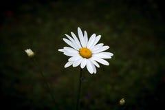 空白春黄菊 库存图片