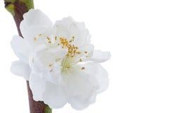 空白杏子开花的特写镜头 免版税库存图片