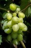 空白束的葡萄 免版税库存图片