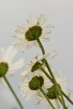 空白构成的雏菊 免版税图库摄影