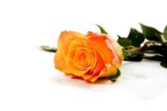 空白查出的玫瑰 图库摄影