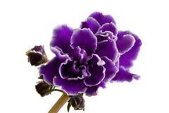 空白查出的紫罗兰色的紫罗兰 免版税库存照片