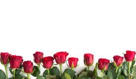 空白查出的红色的玫瑰 免版税图库摄影